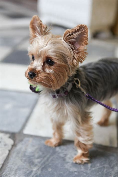 images of yorkies hair cuts yorkshire terrier petsync