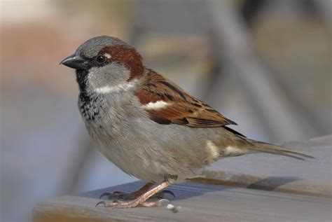 house sparrow wikipedia