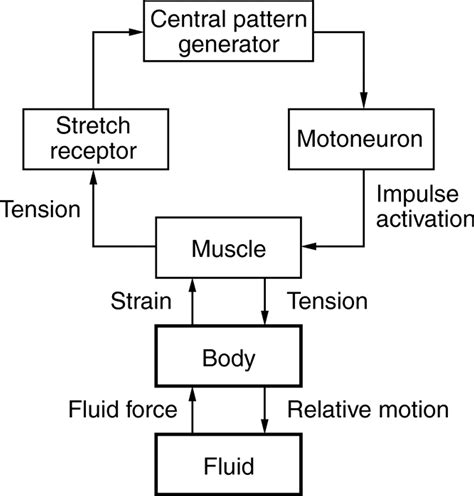 central pattern generator in swallowing mechanisms underlying rhythmic locomotion body fluid