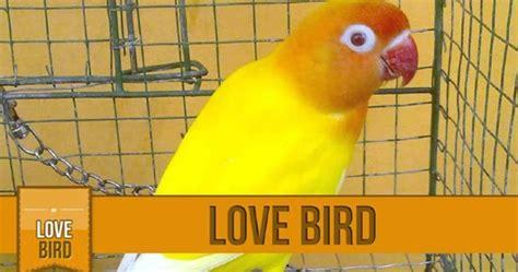 Lu Spektrum Untuk Lovebird daftar harga burung lovebird lutino mata merah terbaru 2016 kicau alam