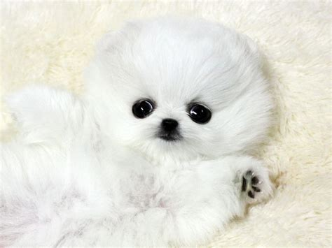 micro pomeranian white teacup pomeranian teacup poms one day i will one