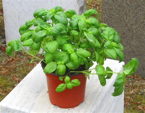 harros pflanzenwelt basilikum kr 228 uterpflanzen im pflanzenversand harro s