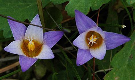 fotografie fiori fiore giallolila fotografia fiori