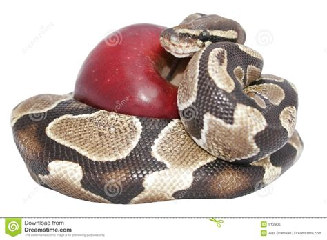 snake apple snake and apple royalty free stock image image 513906