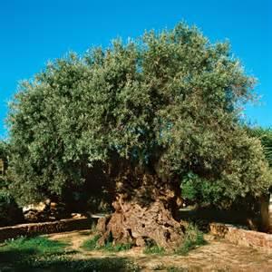 olive tree the olive tree of abraham gnosticwarrior com