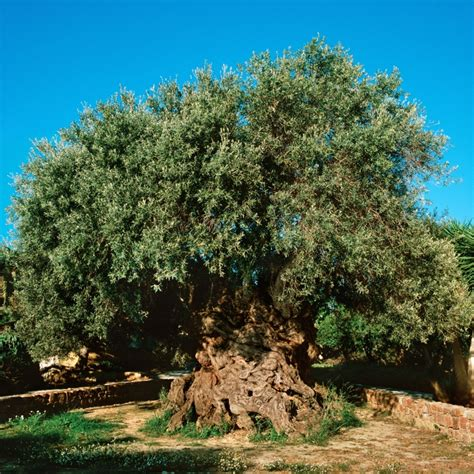 olive tree the olive tree of abraham gnosticwarrior