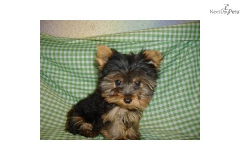 7 lb yorkie terrier yorkie puppy for sale near southeast missouri missouri 588ff3e8