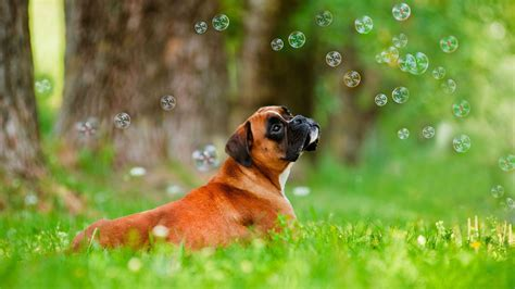 dog wallpapers wallpaper cave boxer dog wallpapers wallpaper cave