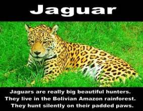 Jaguar Rainforest Facts Facts Animals In The Rainforest Images