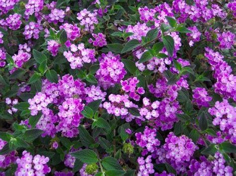 imagenes de lilas blancas jardines 187 planta lila