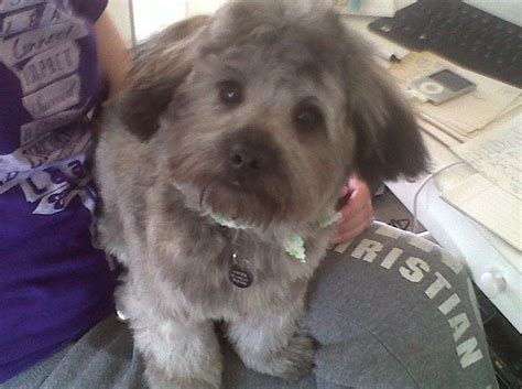 pomapoo haircuts pomapoo mister with a haircut my life pinterest