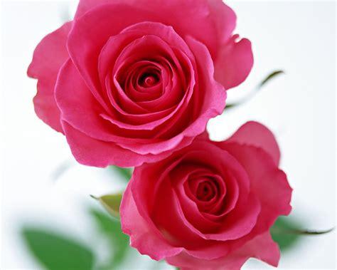 rose pennock floral page 2 桌布下載 節日桌布 情人節玫瑰花系列