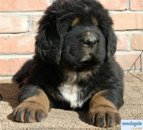 black mastiff puppy black and white tibetan mastiff puppies tibetan mastiff