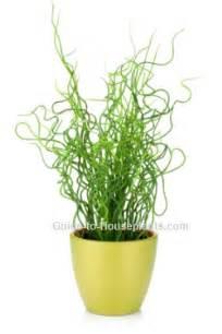 Green Foliage House Plants - juncus effusus spiralis corkscrew rush plant