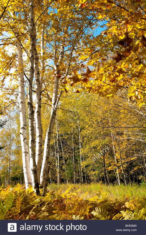 birch color white birch tree in fall colors with ferns surrounding and