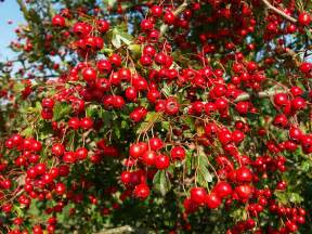 Herbal extract company s hawthorn supplement