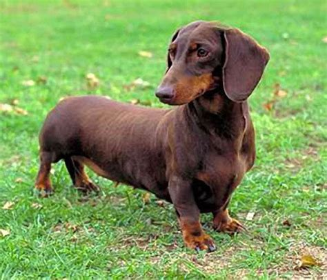 wiener puppies files fact dachshund files