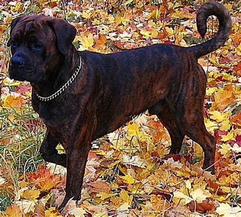 rottweiler boxer mix the world s catalog of ideas