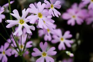Pansie Flower - michael kirste fotografie galerie 187 blumen