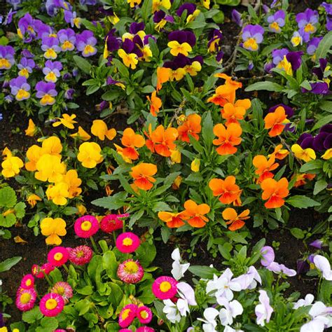 garden ready autumn bedding plants collection dobies