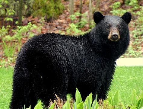 black bear bear attacks seriously injures man in northern