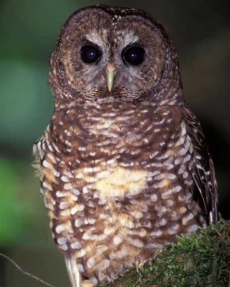 L Owl by Spotted Owl Audubon Field Guide