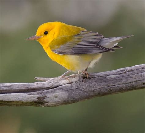 Prothonotary Search Prothonotary Warbler Birds