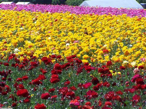 field of roses wallpaper 11372 open walls