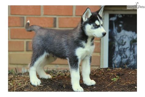 husky puppies for sale near me andre siberian husky siberian husky puppy for sale near lancaster pennsylvania