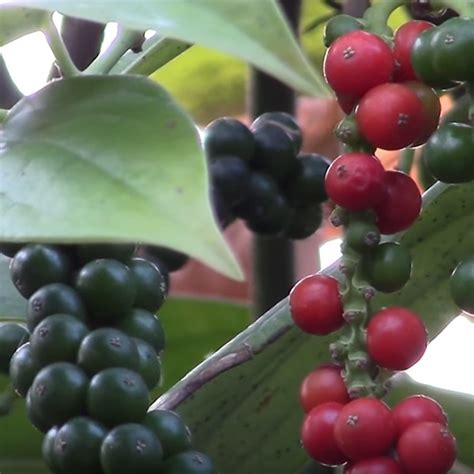 black pepper plant piper nigrum  pot black