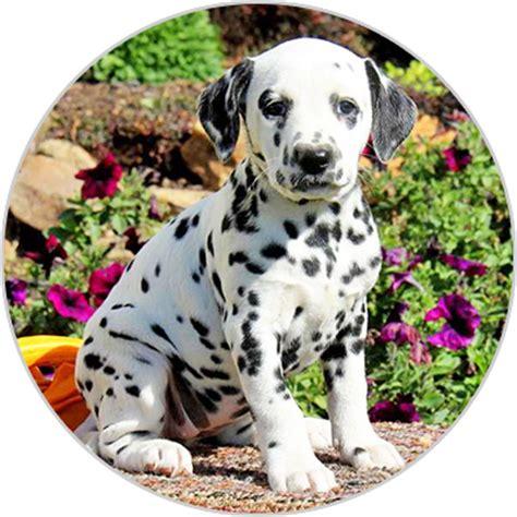 toelettatura cani pavia vendita cuccioli dalmata pavia allevamentocuccioli it