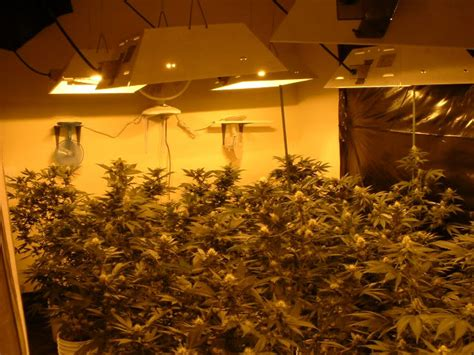 marijuana grow room cannabis x indica marijuana