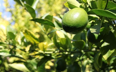 lime fruit trees citrus lime trees for sale