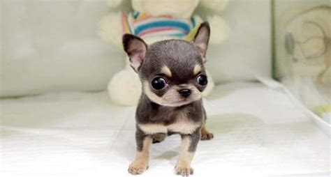 apple chihuahua puppies for sale teacup chihuahua puppies for sale applehead teacup chihuahua puppies for sale south