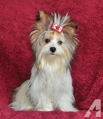 parti color yorkie traditional yorkies and parti color yorkie puppies shipped to your airport 1 year