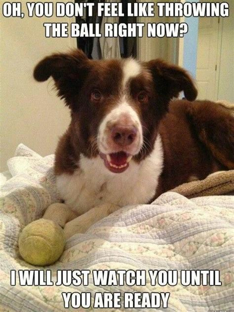 Border Collie Meme - 10 best border collie memes of all time