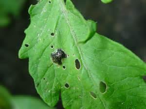 Tomato Plant Diseases Identification - tomato pest