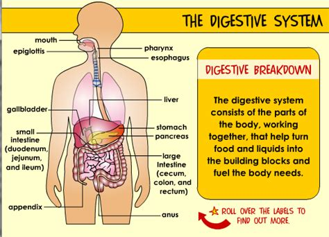 interactive digestive system diagram the human 2nd cycle san jose