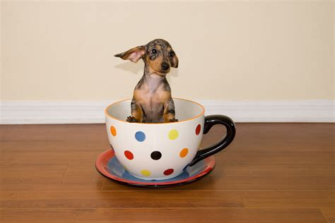 teacup dachshund puppies teacup weiner puppy breeds picture