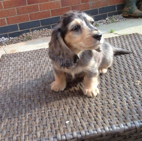 dapple dachshund puppies for sale in silver dapple dachshunds