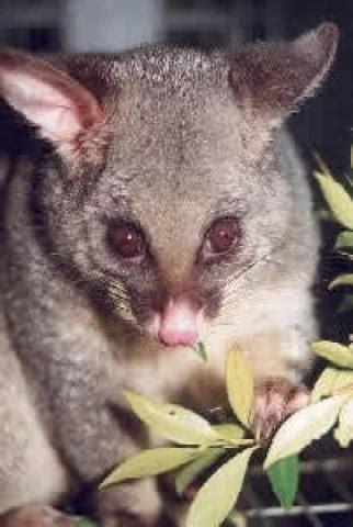 possum fur