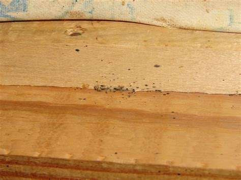 bed bugs  fecal spotting  furniture bed bugs