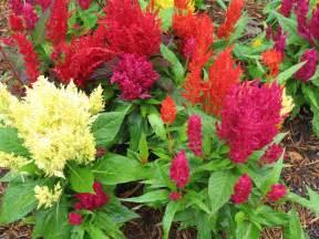 celosia flower plant guide celosia century mix century mix celosia