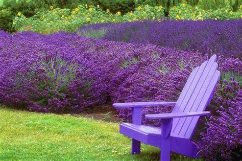 lavender companion plants livestrong com