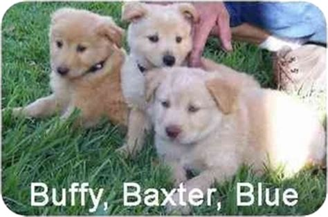 chow chow golden retriever mix puppies for sale adorable puppies adopted puppy rockwall tx chow chow golden retriever mix