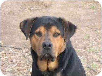 rottweiler oklahoma urgent solomon adopted drumright ok rottweiler mastiff mix