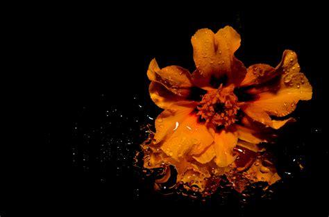 images of orange flower illustration 183 free stock photo