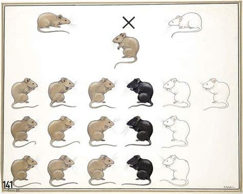 mouse colors vintage genetics mouse coat color mendelian genetics