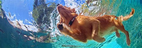 best swimming dogs top 7 best pools for swimming and cooling 2017
