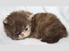 Upcoming Persian Kittens For Sale | Visit our website at ... Kittens For Sale